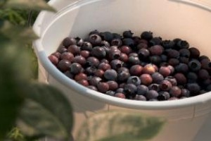 Smith's Nursery & Produce (blueberries) | Benson, NC