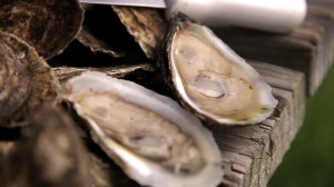 Carolina Mariculture Oysters