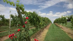 From The Vineyard | Childress