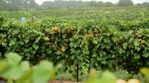 From The Vineyard | Lineberger's