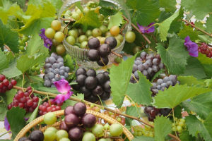 Table Grapes | Kings Mountain, NC