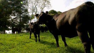Beef Cattle | Flavor, NC