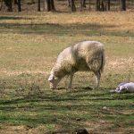 Sheep's Milk & Cheese | Greensboro, NC