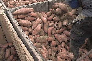 Sweet Potatoes | Princeton, NC