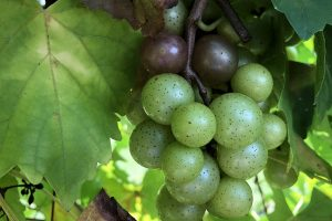 From the Vineyard | Linville Falls & Twisted Vine Wineries and Medaloni Cellars